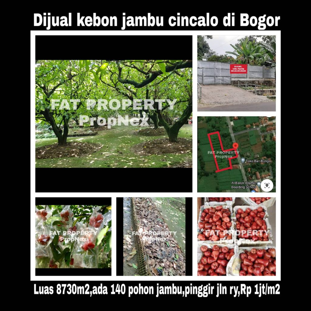 Dijual kebun jambu cincalo di Cibatok,Cibungbulang,Bogor.